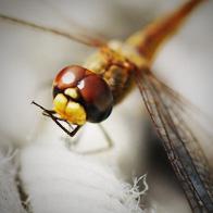 libellule-inconico-4